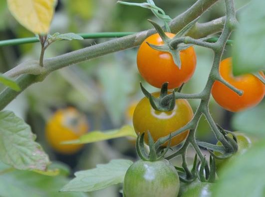 育ったトマト