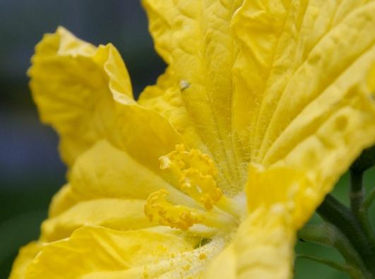 きゅうりの黄色い花